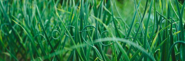 arrows of garlic